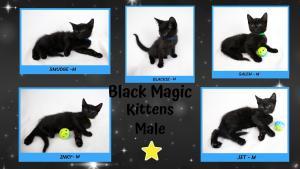 Black Magic kittens male 0520-X2.jpg